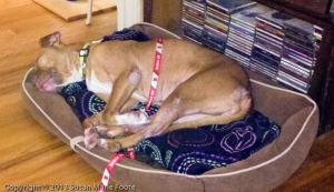 sweet pit bull asleep on dog bed