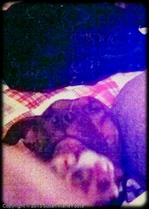 snuggle with pit bull