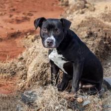 Batman (WCAC ID: 97235) Male Pittie 1 year old - Landfill Dog Project - no cats