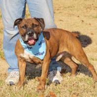 Bently (WCAC ID: 97120) - an 8 yo male Am/Eng Bulldog