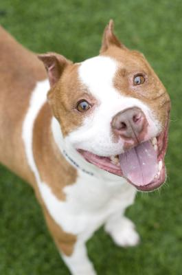 Cheech (WCAC ID: 97955) Male Boxer/AmStaff 6 years old