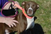 Chester (WCAC ID: 98561) Male Pittie 9 months old