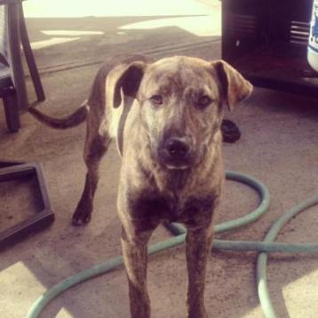 Dakota (WCAC ID: 98536) Male Hound/Pit 1 year old