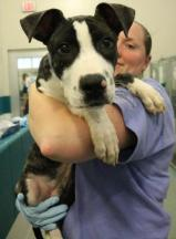McQueen (WCAC ID: 98100) Male Pittie 6 months old