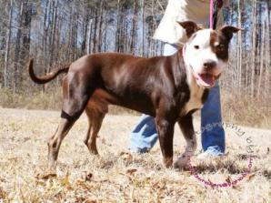 Santana (WCAC ID: 98758) - a 6 yo male Terrier
